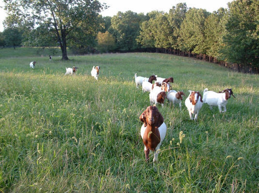 here come the pasture-raised Boer meat goats at Canyon Goat Company in Greenview, Missouri